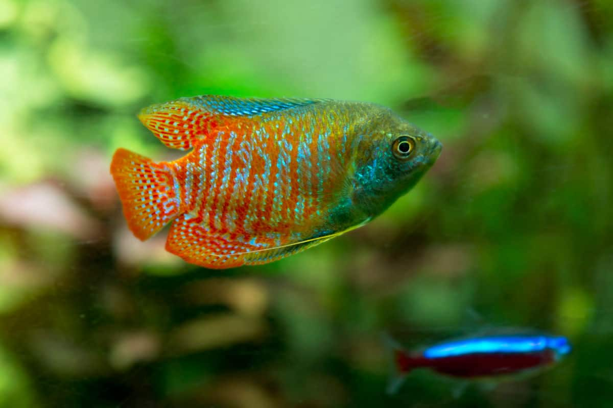 Close up of a multi-colored dwarf gourami