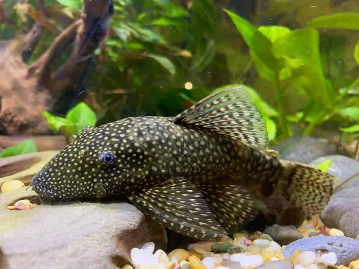 A bristlenose pleco resting at the bottom of its aquarium