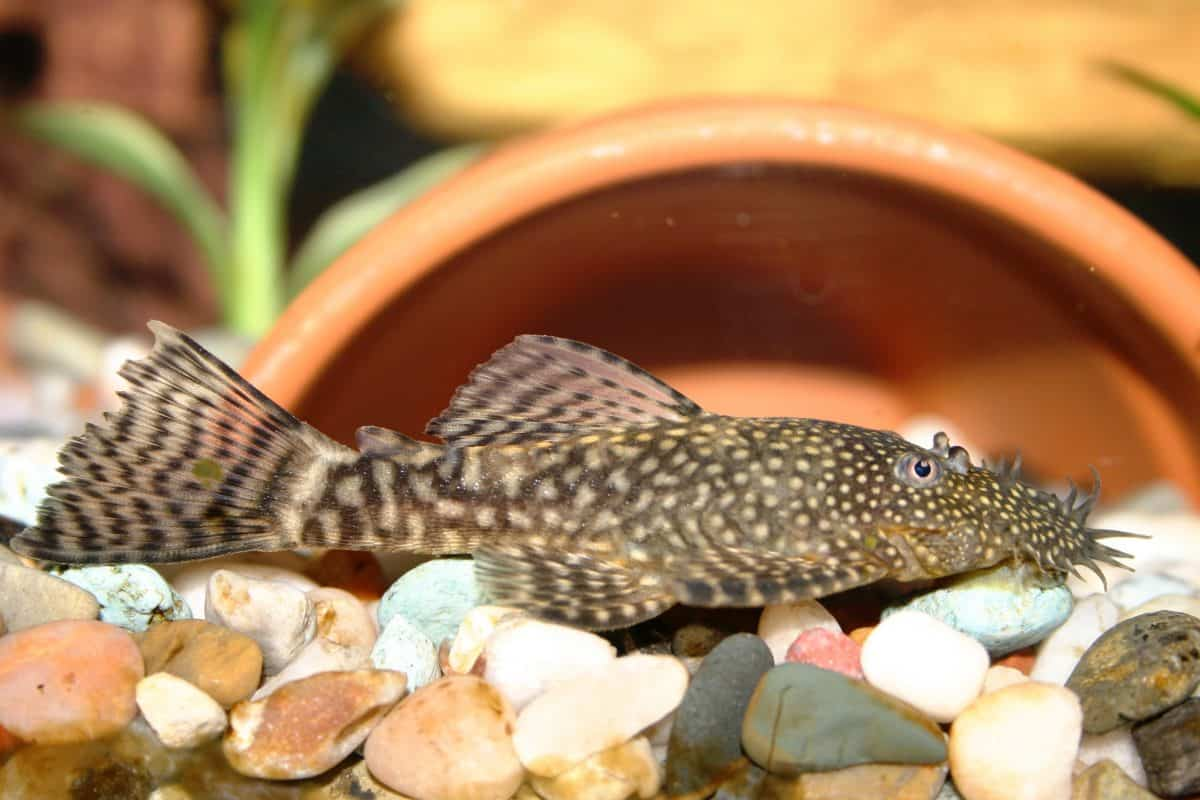 A bristlenose pleco resting on gravel in front of half a plant pot