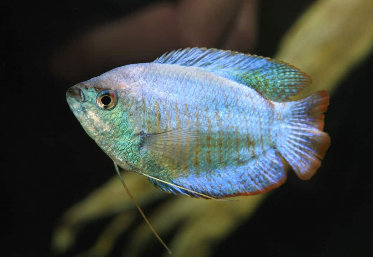A pale colored dwarf gourami