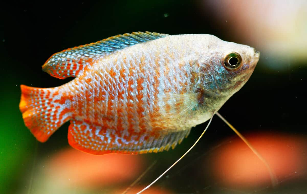 A red and silver dwarf gourami