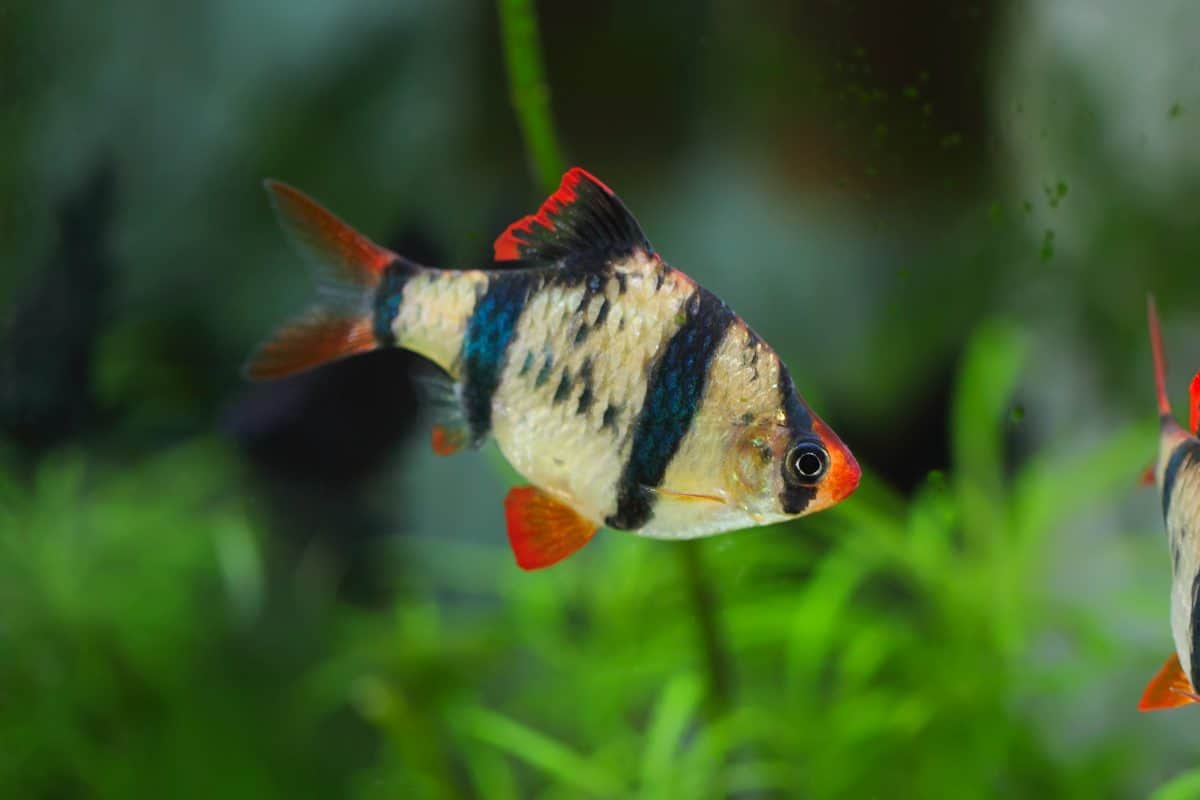 close up of a tiger barb in a planted tank