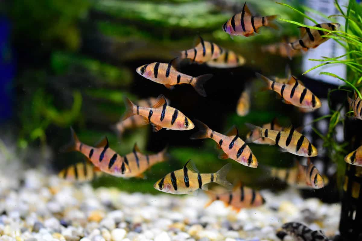 a tiger barb community in a light gravel covered, planted tank
