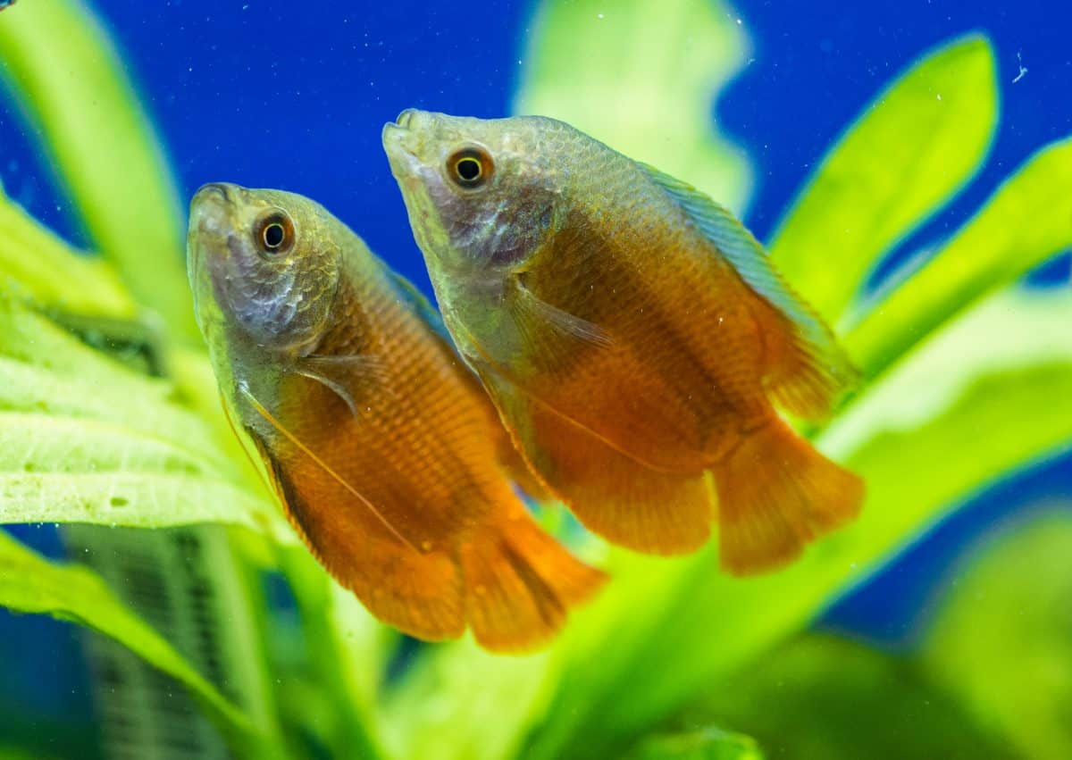 two honey gourami in a planted tank