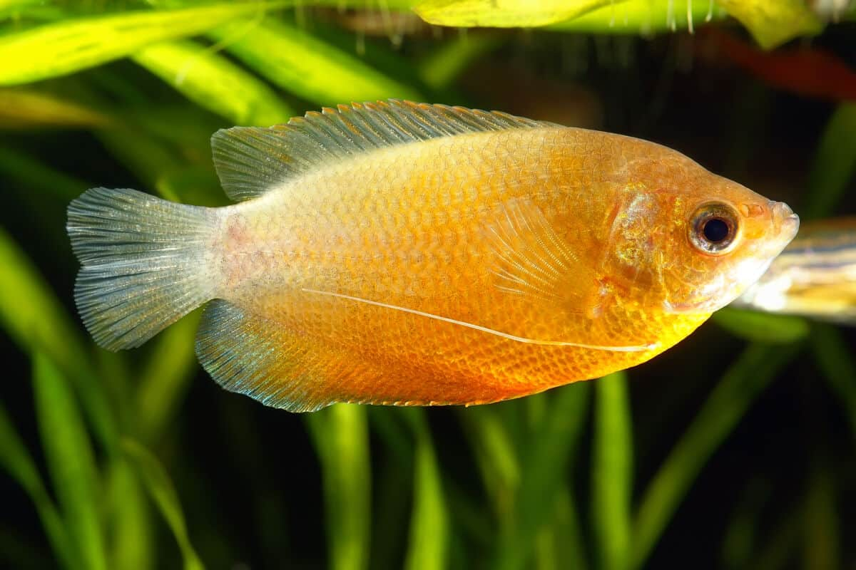 A yellow colored dwarf gourami