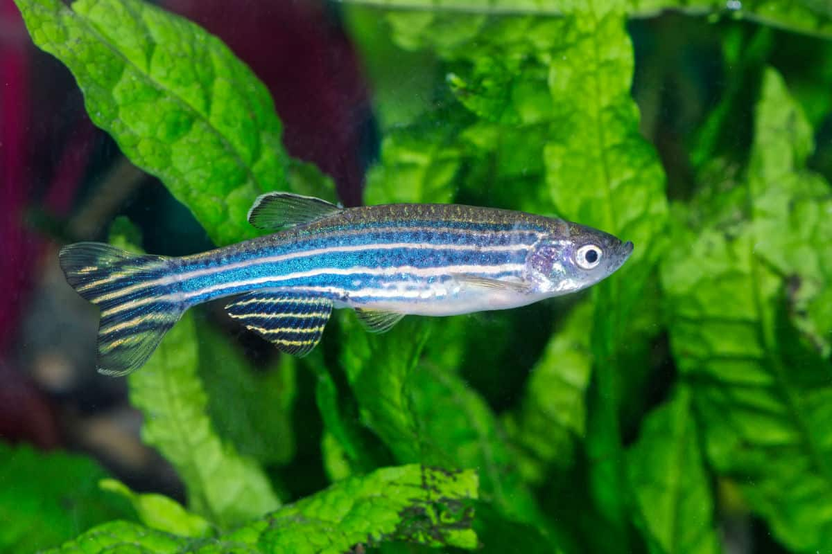 Zebrafish (Danio rerio) in planted aquarium