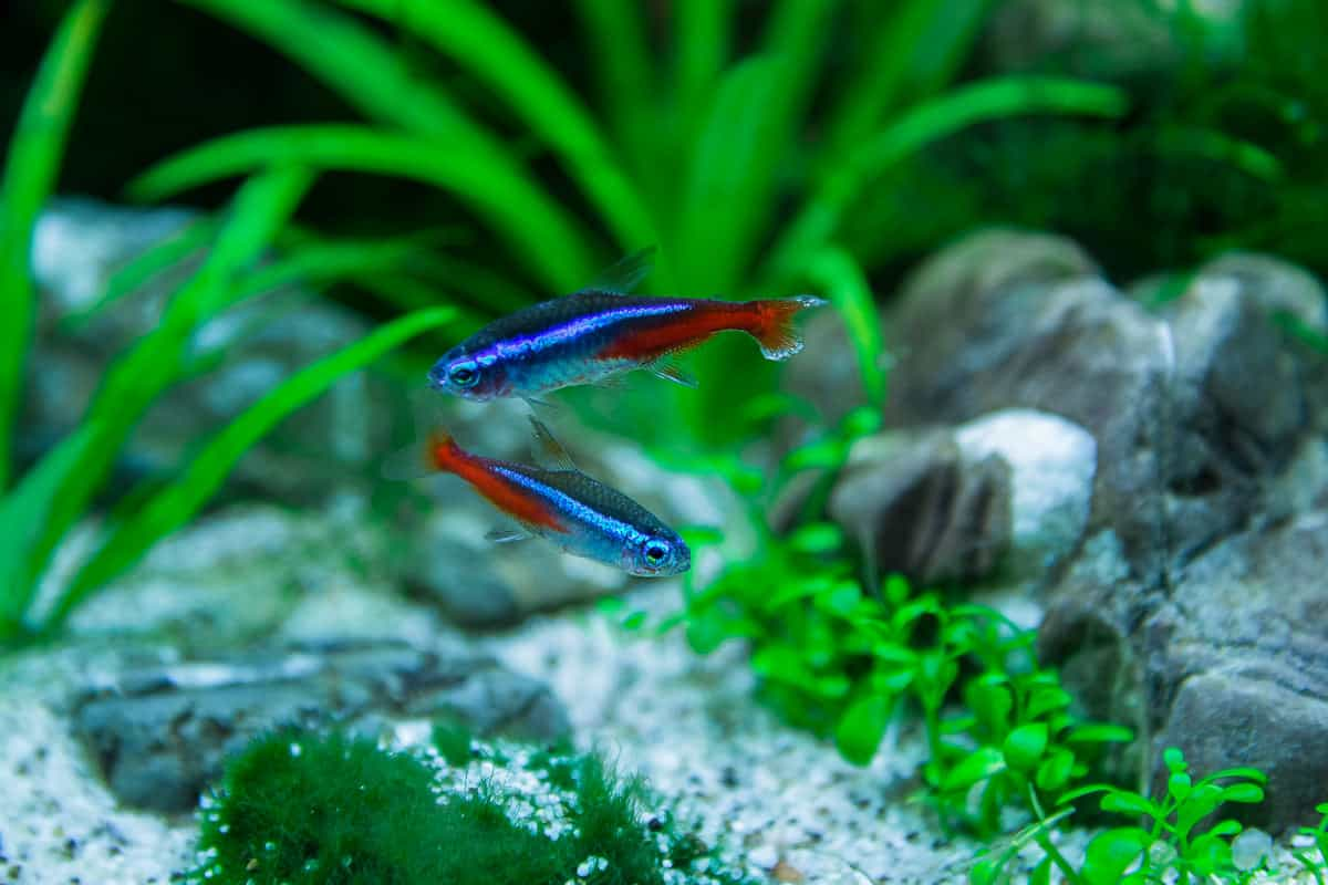 2x neon tetra in a small 5 gallon fish tank