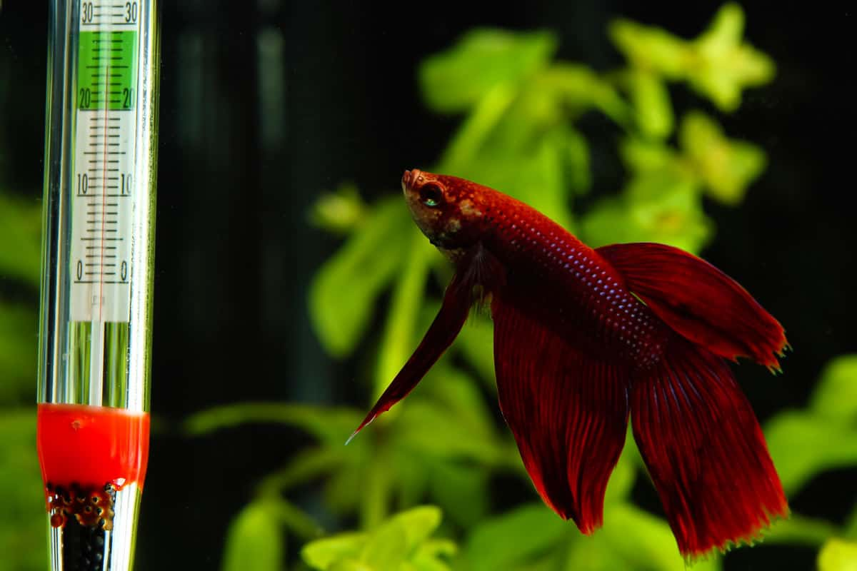A red betta fish looking at an aquarium thermometer