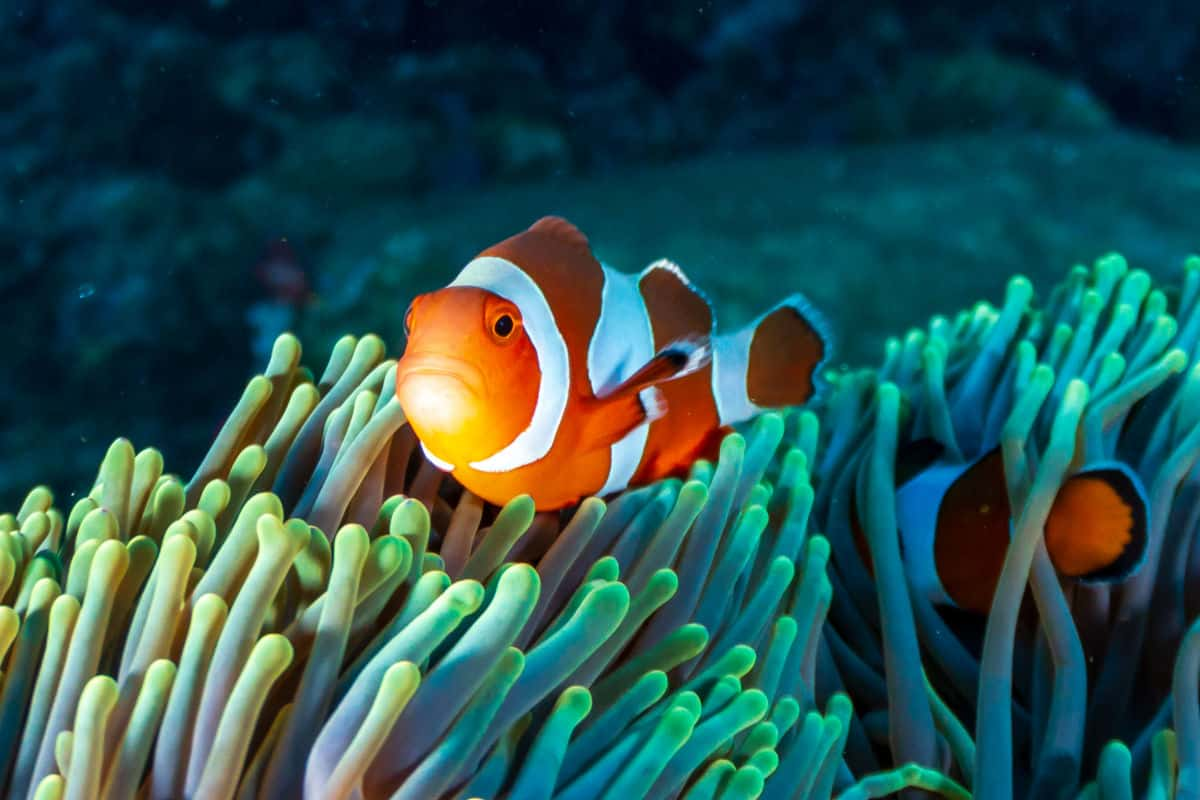 A colorful clown fish in living coral
