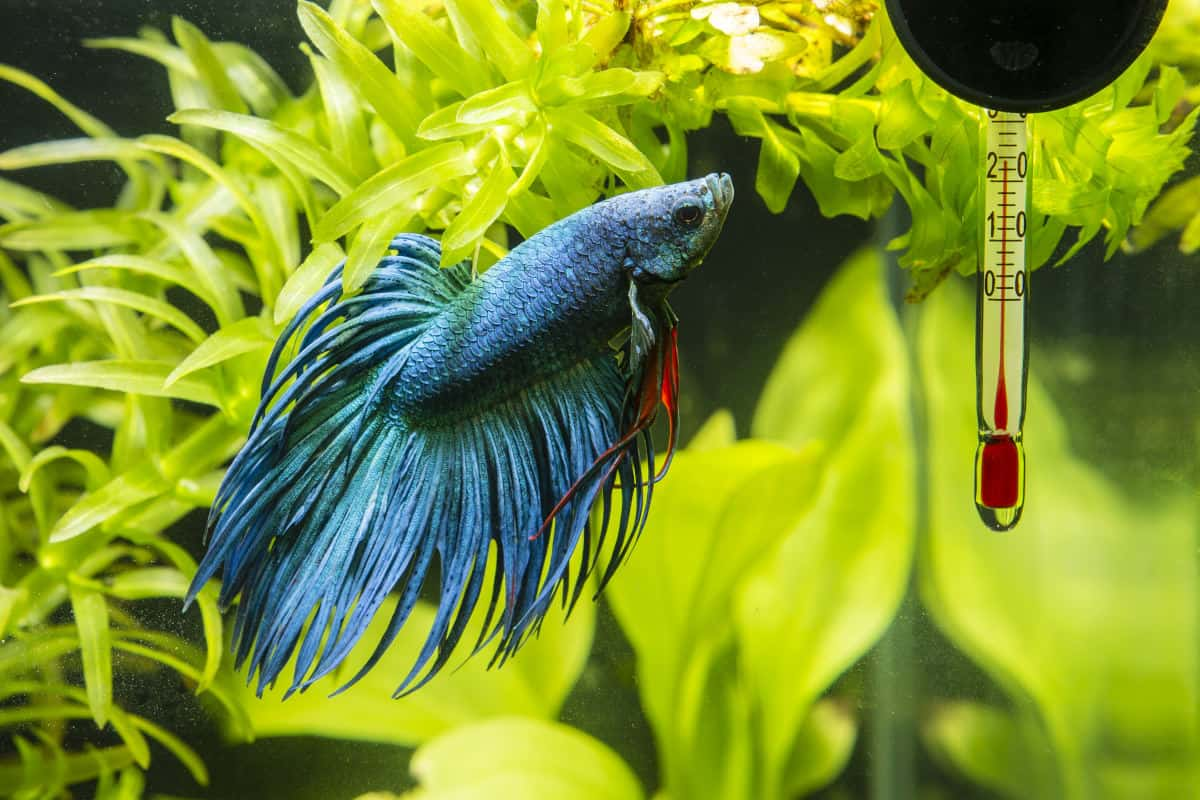 A blue betta looking at a fish tank thermometer stuck to the glass with a suction cup