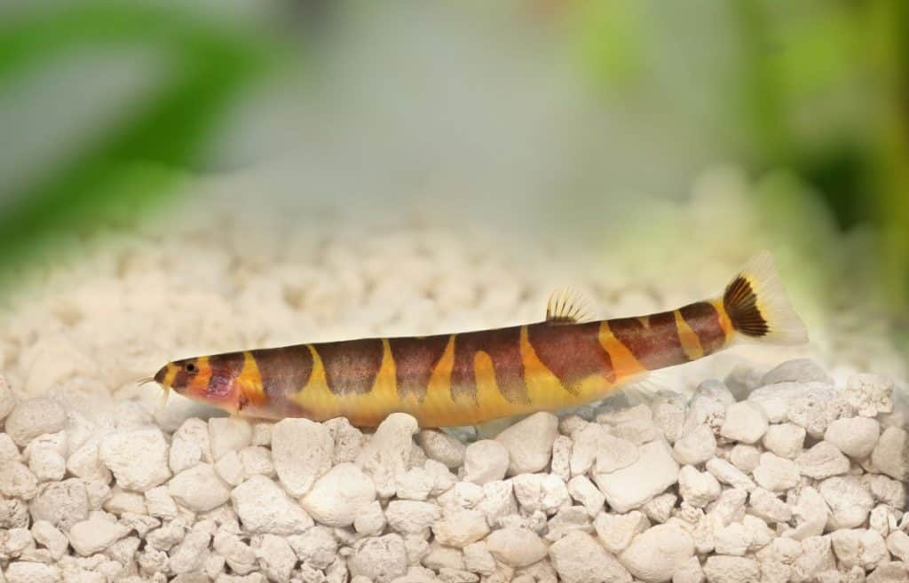 A kuhli roach in an aquarium with light colored gravel