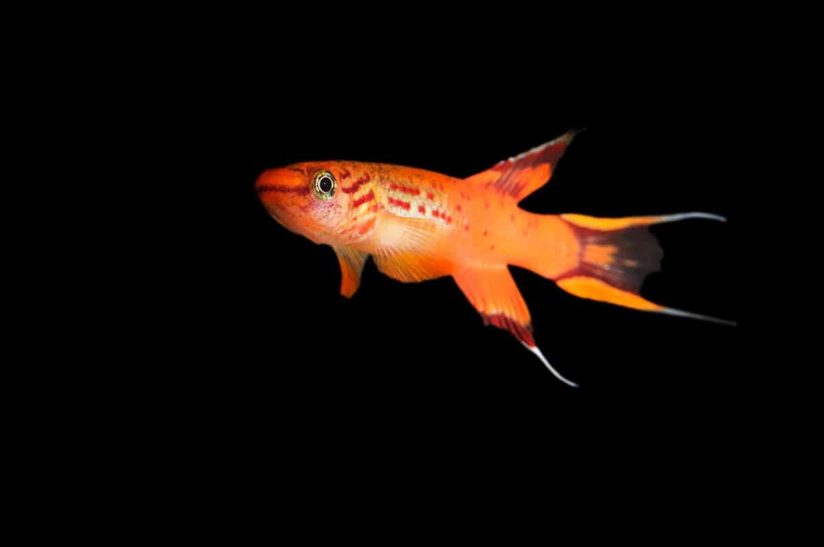 An orange killifish isolated on a black background