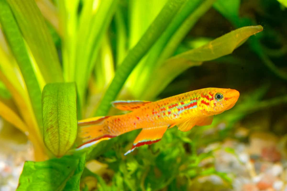 A brightly colored killifish against a planted tank background