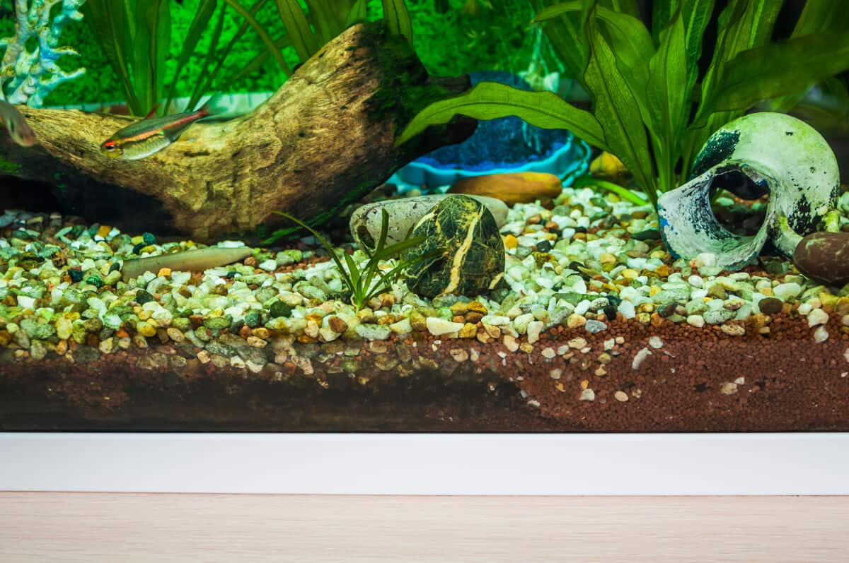 Amazon sword in a gravel bottom aquarium