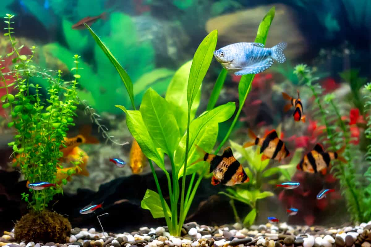 Close up of Amazon sword and a blue fish in an aquarium