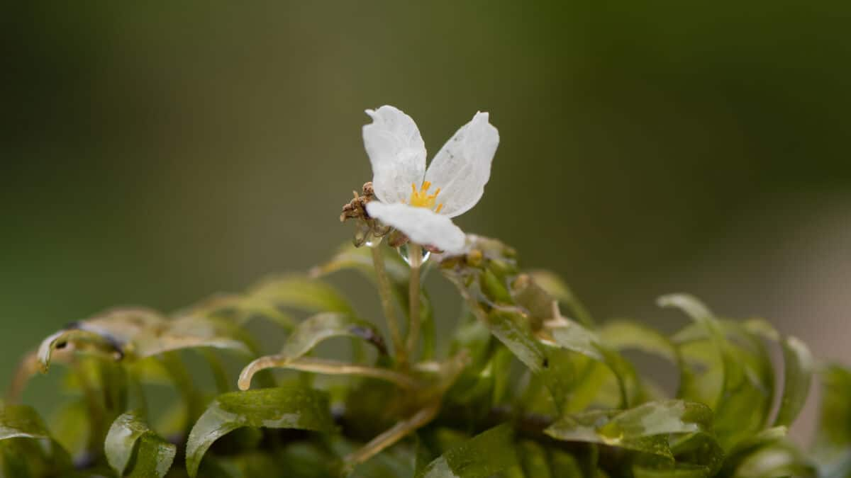 A flowering Anacharis Brazilian waterweed plant