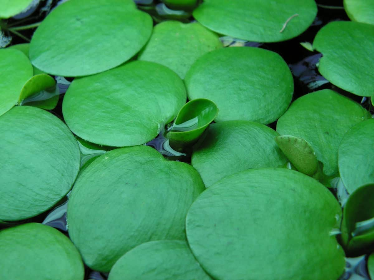 Bright green, floating Amazon frogbit leaves