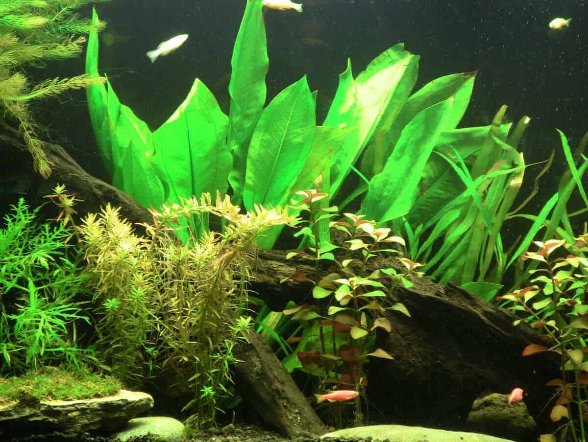 amazon sword plant, with other plants in an aquarium