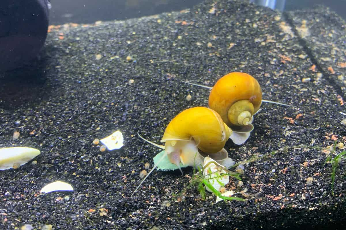 Two bright yellow mystery snails - or apple snails - on black gravel in an aquarium
