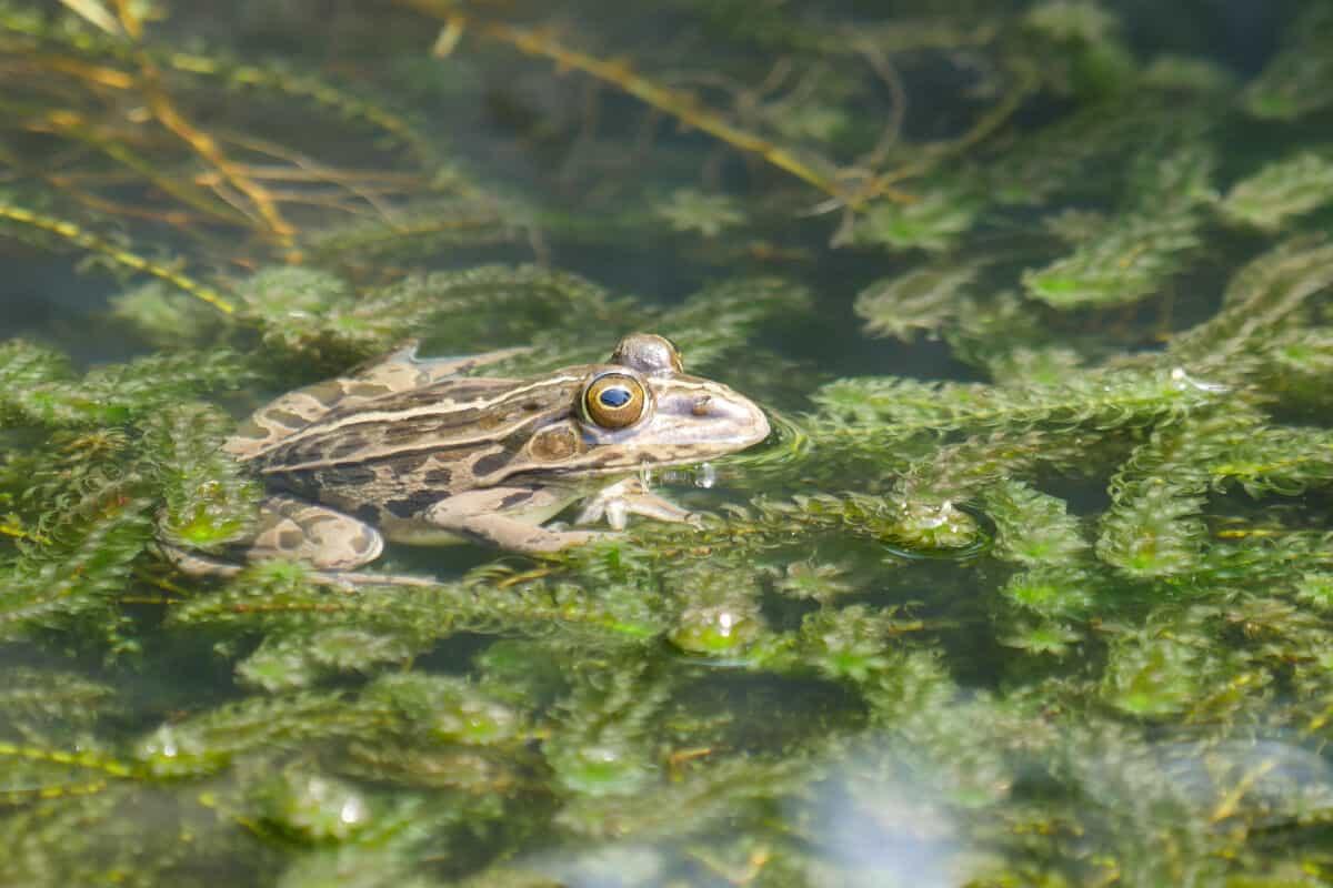 A frog sitting on an Anacharis plant