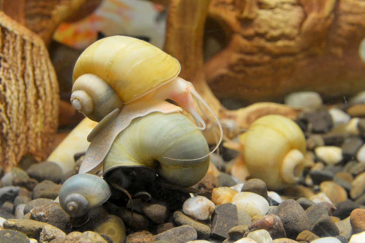 Three mystery snails in an aquarium with driftwood