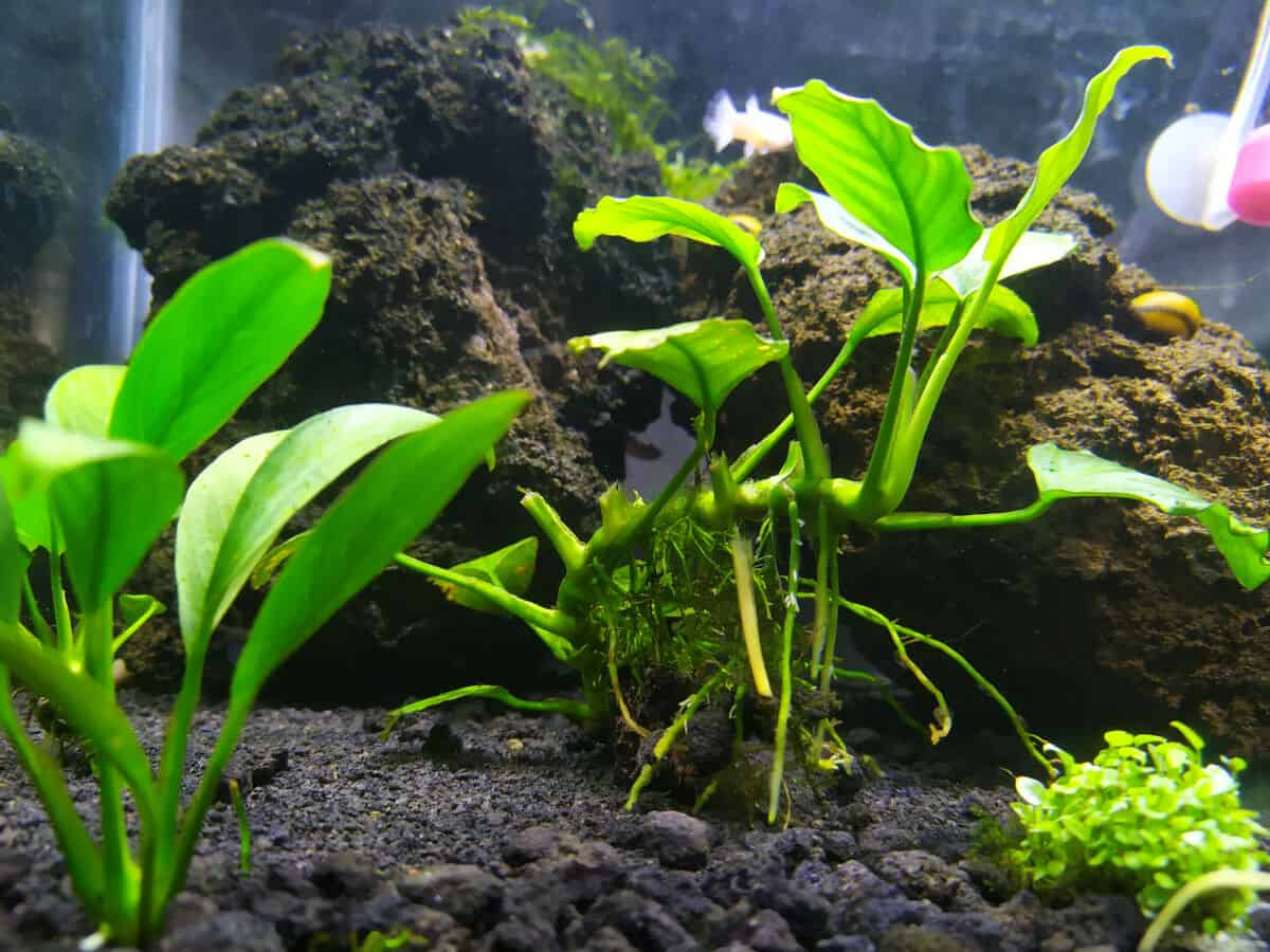 Anubias nana in an aquarium with a mud like substrate it's growing from
