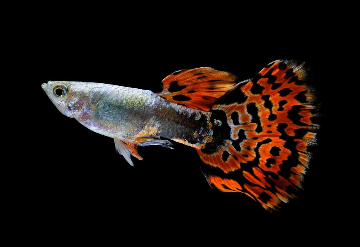 A red, black and grey guppy fish isolated on black