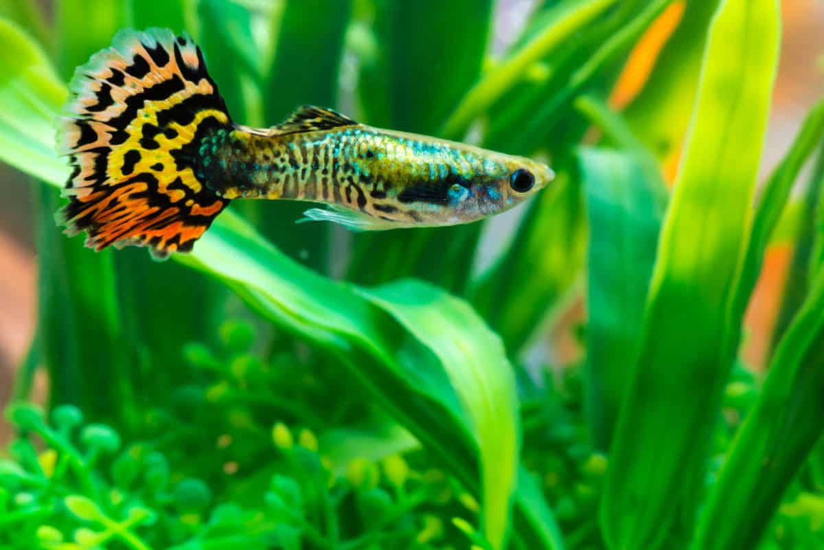 A facny tailed guppy in a planted tank