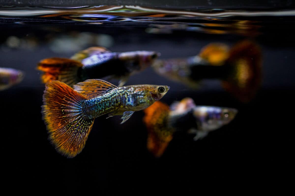 Two guppies at the surface of the water