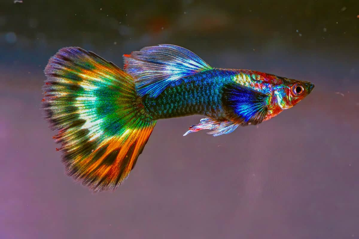 A very bright and colorful guppy isolated