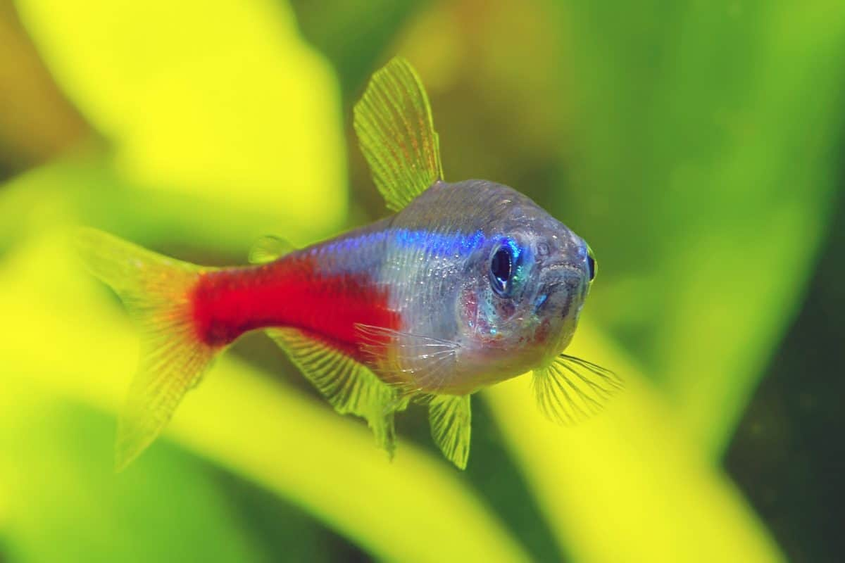 neon tetra looking right into camera as the photo was shot