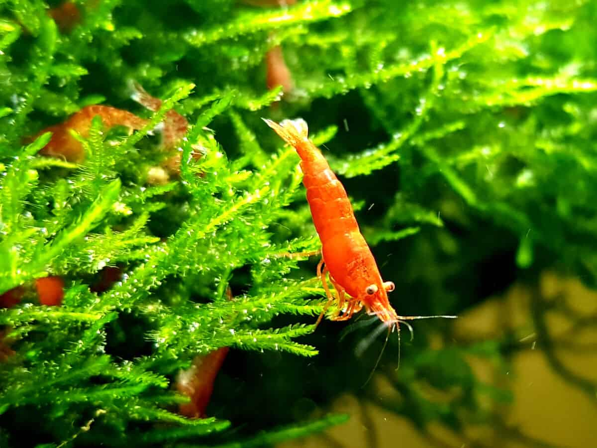 Some red cherry shrimp in and around a lush green plant