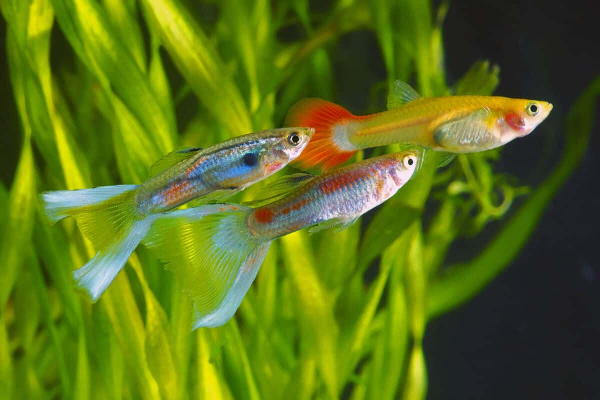 Close up of three guppies in a planted tank